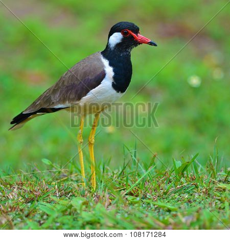 Red-wattled Lapwing Bird