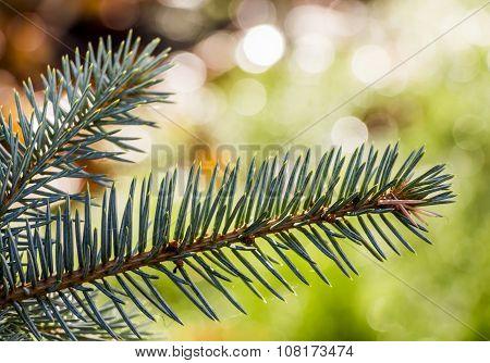 Green Fur-tree Branch