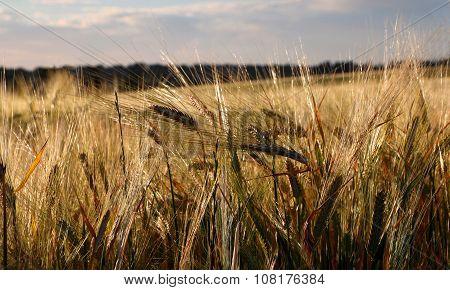Ripening Cereal Rural Landscape