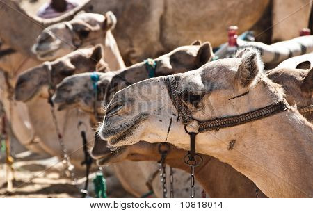 Dromedaries In A Row
