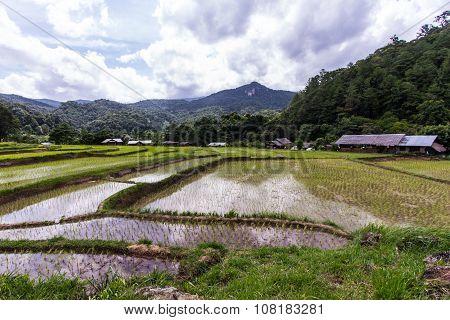 Green Terraced Rice Field In Mae Klang Luang, Chiangmai Thailand