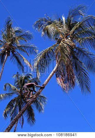 Man climbing a coconut tree.
