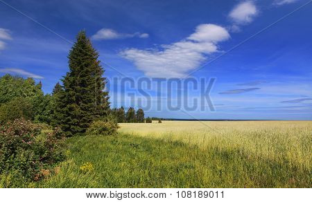 Christmas tree on the edge of a summer field with ears