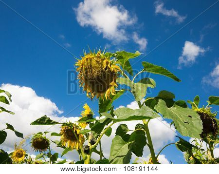 Sun flowers against blue sky