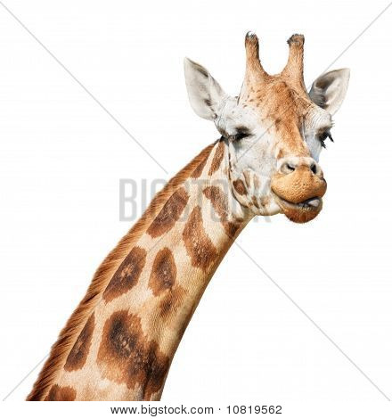 Giraffe Head Sly Winking  Put Out Its Tongue Look