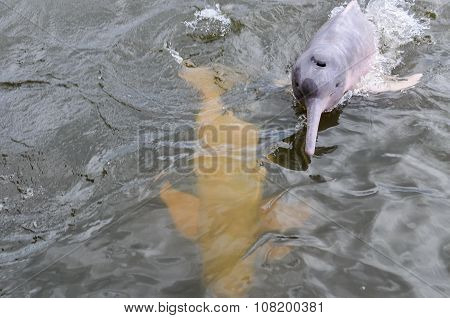 Pink Dolphin In The Amazon Rainforest, Brazil