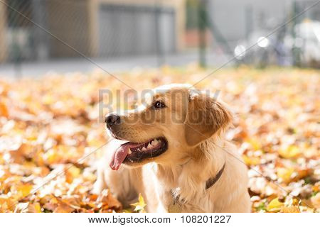 Happy golden retriever in autumn leaves