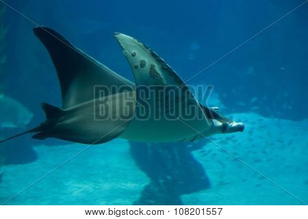 Manta Ray Fish Floating Underwater