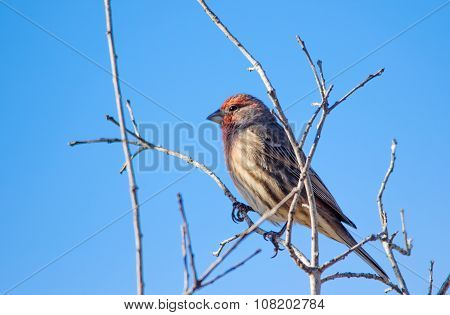 The House Finch Perching On The Tree Branch
