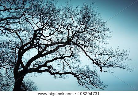 Old Leafless Bare Tree Over Blue Sky Background