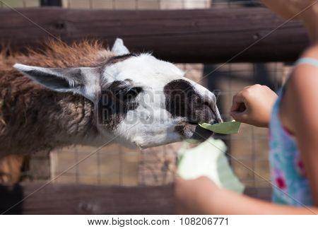 Llama, Feeding Time