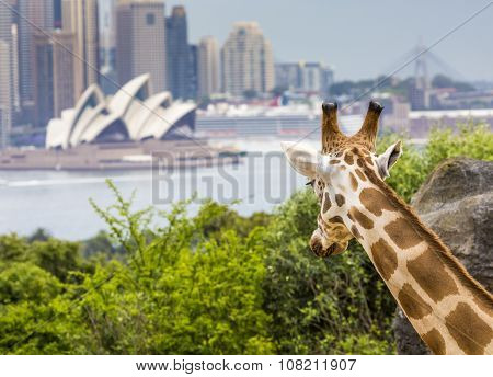 Sydney, Australia - December 27, 2015. Giraffes At Taronga Zoo With A View Of The Skyline Of The Cbd