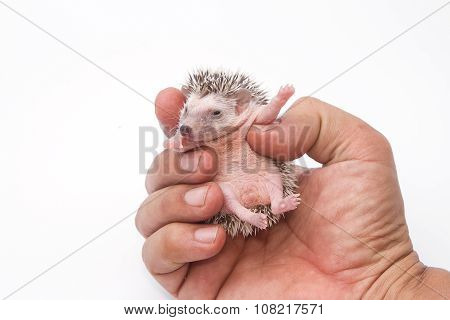 Baby Pygmy Hedgehog On Human Hand