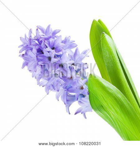 Beautiful Blue Hyacinth