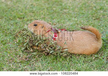 Prairie dog lying on green grass