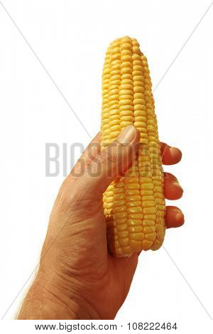 Man hand holding yellow corn isolated on white