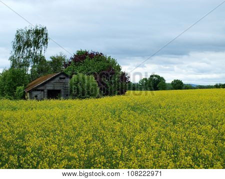 Old House In A Flowering Canola