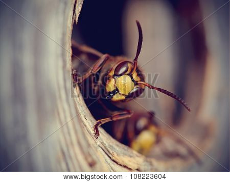 Portrait Of A Big Wasp - A Hornet