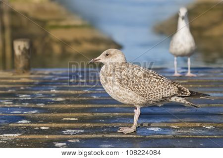 Young herring gulls (Larus Argentatus) standing on a small wooden bridge