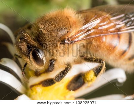 Close Up Portrait Of Honey Bee On White Aster Flower
