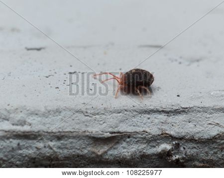 Red Clover Mite Crawls On White Surface