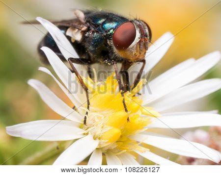 Close Up Portrait Of Blue Iridescent Fly With Bright Red Eyes On White Aster Flower
