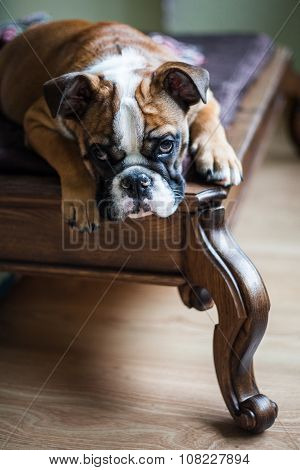 Red-haired English Bulldog Lying On The Wooden Couch In A Classic Style