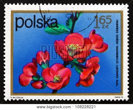 Postage Stamp Poland 1972 Chinese Quince, Flowering Tree