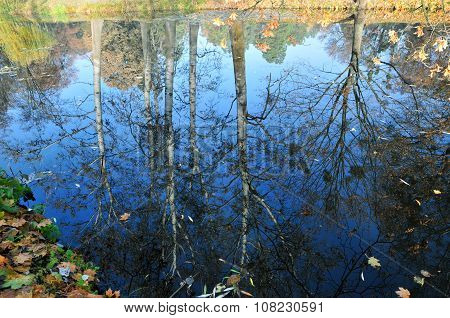 Reflection in the lake autumn trees. Tree trunks of aspen or poplar.