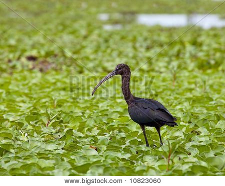 Glossy Ibis juvenile