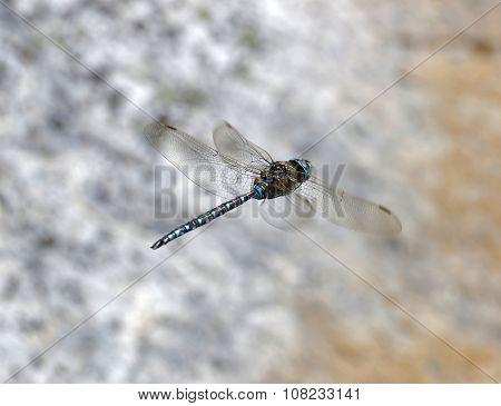 Blue Dragonfly Flying