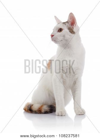 The White Domestic Cat With A Multi-colored Striped Tail