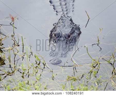 American Alligator in Florida Swamp