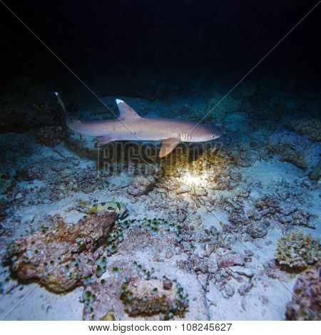 Whitetip Shark During Night Dive, Maldives