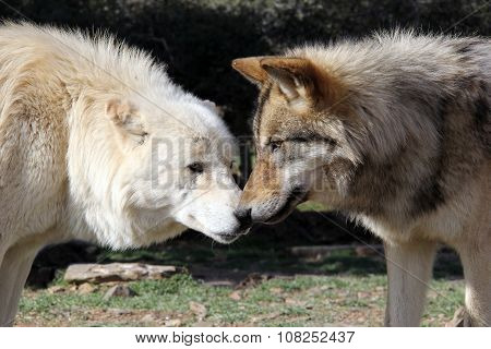 Wolf Kiss Alaskan Gray Wolves