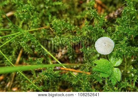 Gray Mushroom Growing In The Green Moss