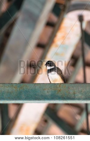 Pied Fantial Bird On A Roof Beam