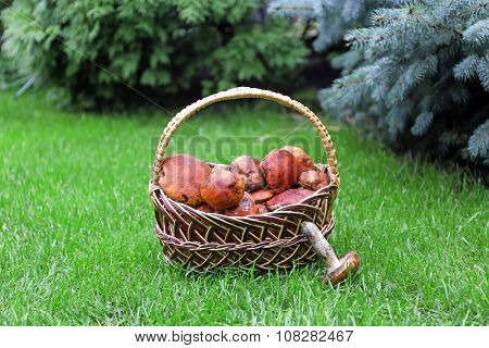 Basket of mushrooms on green grass