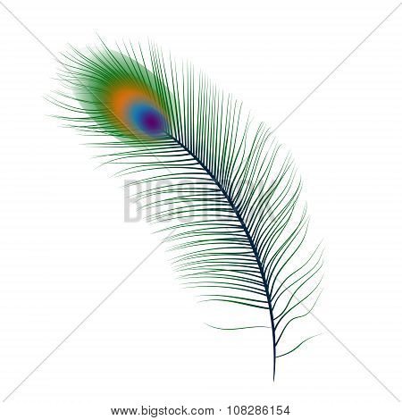 Isolated vector peacock feather