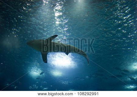 View From The Bottom Of A Shark Swimming