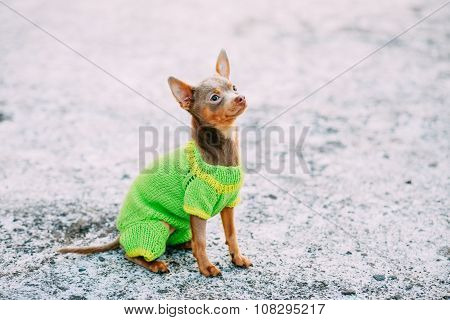 Chihuahua Dog Dressed Up In Outfit, Staying Outdoor In Winter