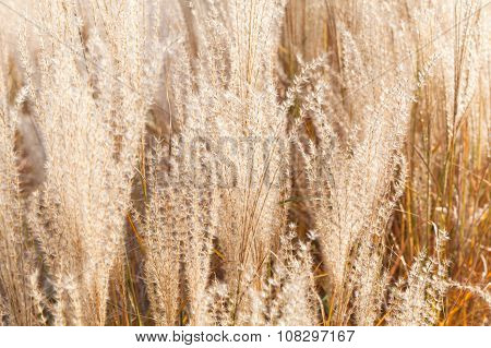 Background Photo, Dry Fluffy Reed Flowers