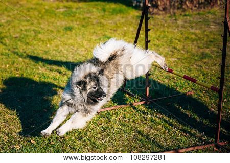 Keeshound, Keeshond, Keeshonden Dog German Spitz Wolfspitz in Do