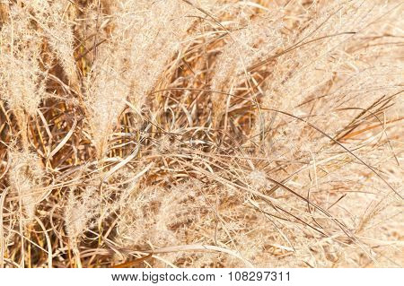 Background Photo With Dry Fluffy Reed Flowers