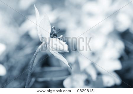 European Wood Anemone Flower, Blue Toned