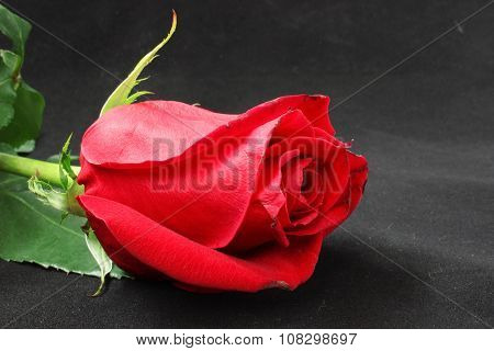 Bud Of A Scarlet Rose