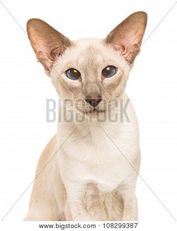 Siamese cat portrait blue eyes