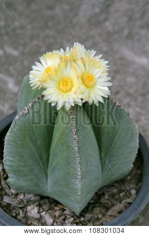 Astrophytum myriostigma Cactus with blossom yellow flowers.