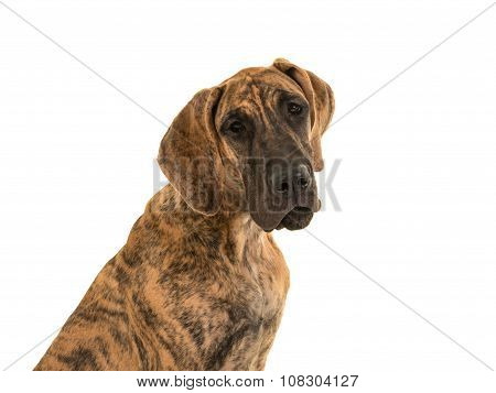 Brown great dane dog