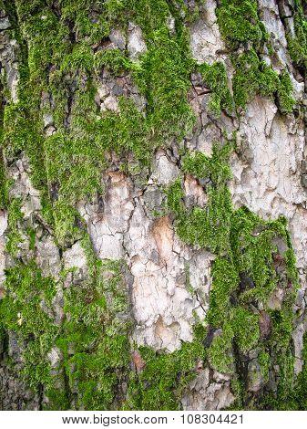 Texture Green Moss On A Tree Bark